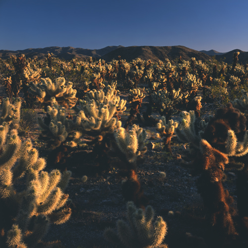 Cholla Garden Early Morning