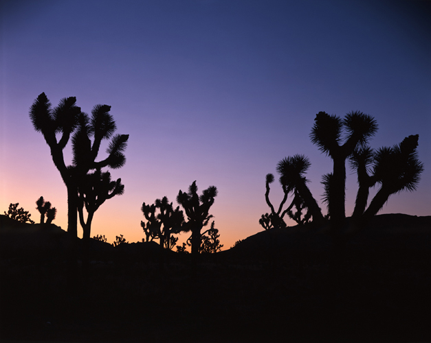 Joshua Tree's Early Morning